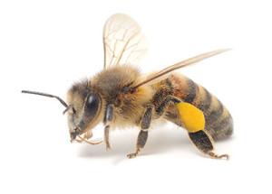 Pollinator Study